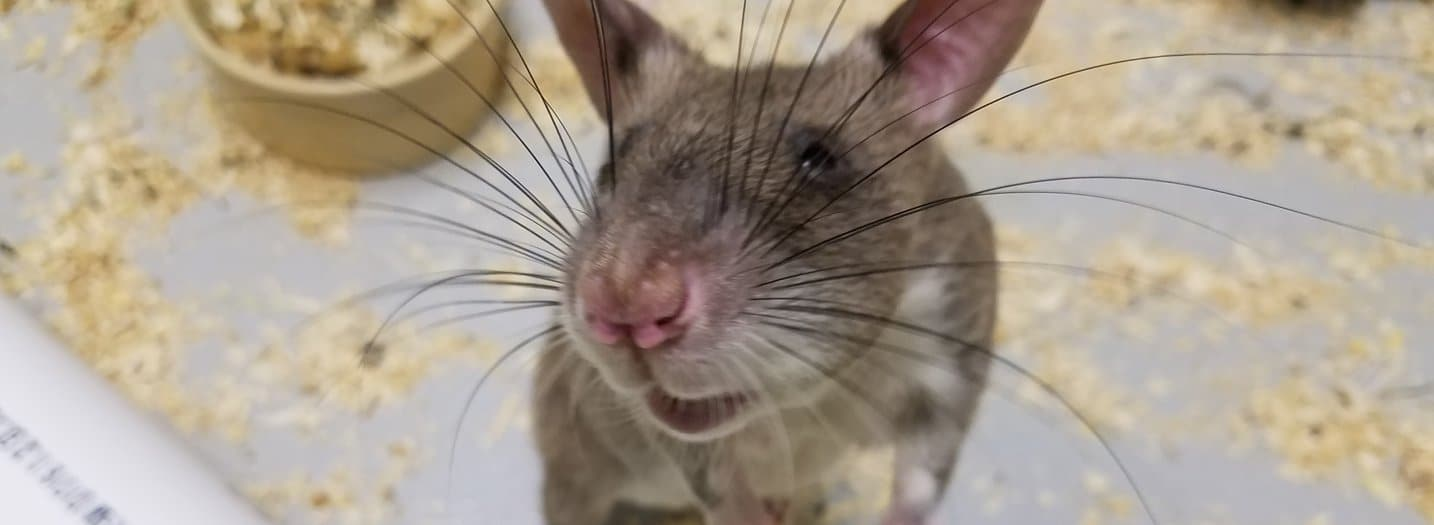 these rats can sniff out landmines & tuberculoses